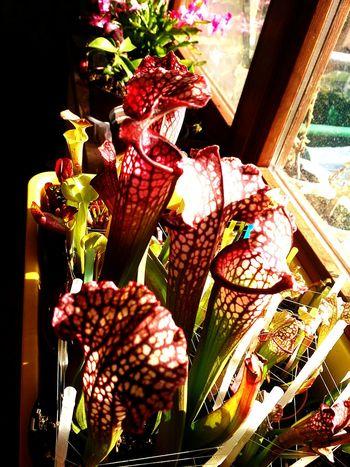 Carniflora Carnivorousplant Sarracenia Spottedplant Sarracenialeucophylla Eyeemplant Plant Plants 🌱 Flowers,Plants & Garden Plant Lover Nature