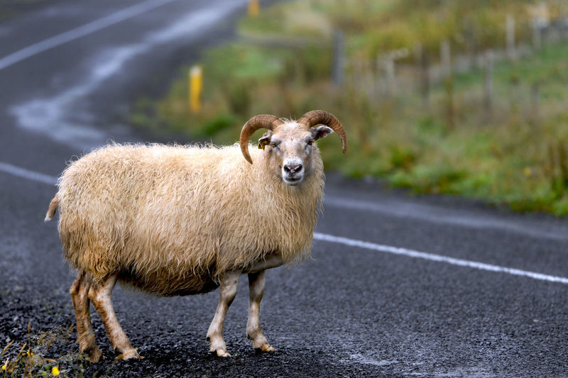 Portrait of sheep standing on road