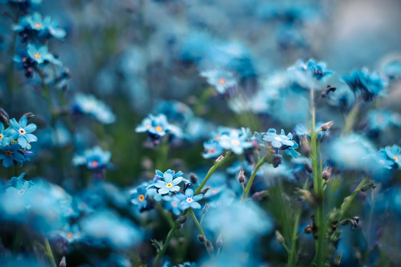 Close-up of blue forget-me-not blooming outdoors