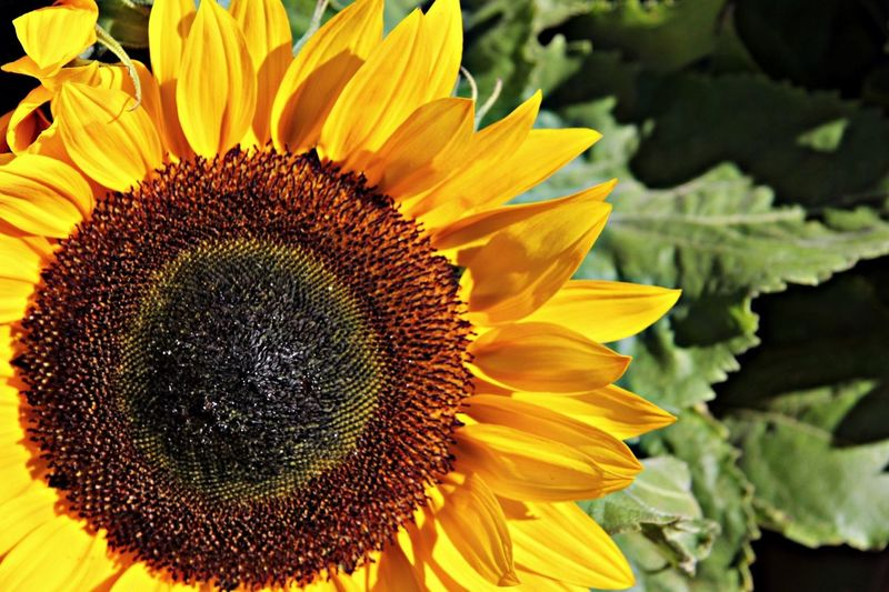 Sunflower EyeEm Best Shots EyeEm Nature Lover FlowerBorn Collection Art Is Portable With Caseable