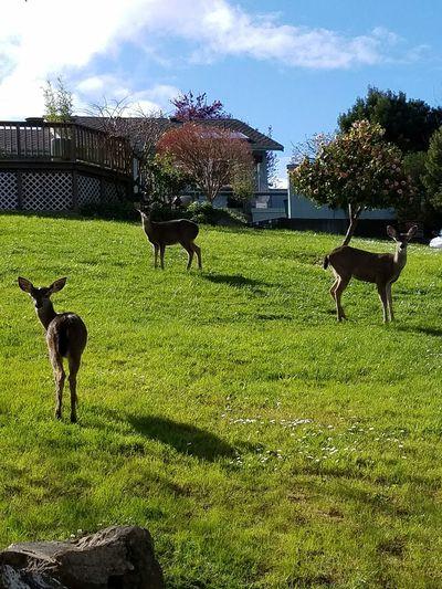 Animal Themes Deer Deer Staring Contest Nice Deer Mom And Babys Doe