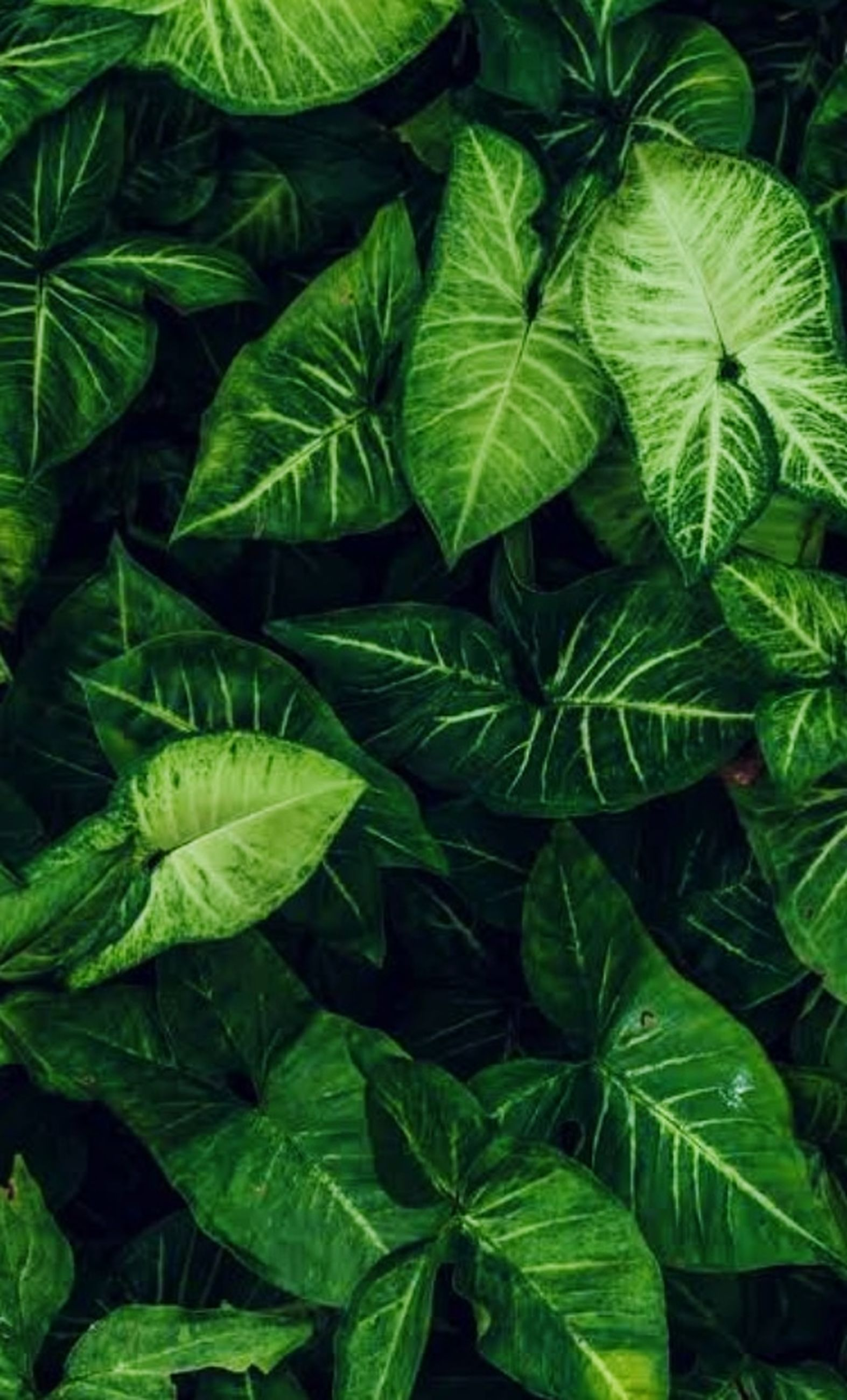 leaf, plant part, green, plant, growth, backgrounds, full frame, nature, rainforest, no people, beauty in nature, flower, jungle, close-up, food and drink, freshness, shrub, food, tree, leaf vein, herb, outdoors, foliage, lush foliage, day, botany, pattern