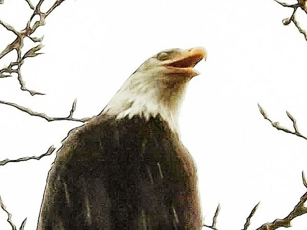Eagles Birdwatching Birds Nature Outdoors landscapes