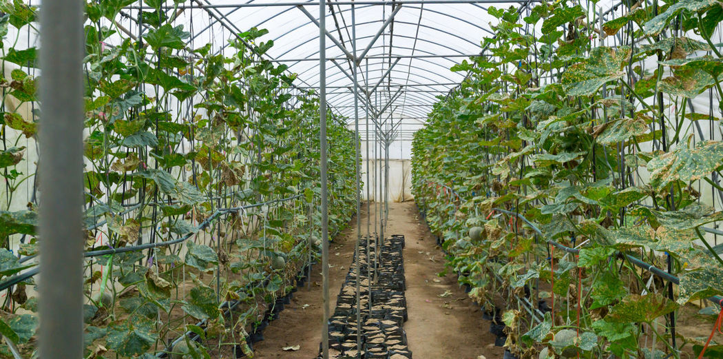 Green Plant Nursery Agriculture Cantaloup Day Green Color Greenhouse Growth In A Row Indoors  Leaf Melon Nature No People Plant Plant Nursery The Way Forward Tree Vegetable