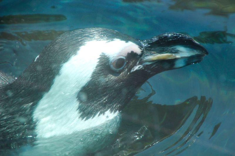Animal Themes Aquatic Mammal Penguin ♡ Swimming One Animal Close-up