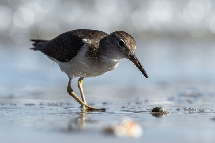 Curious young spotted sand piper hunts for breakfast on an early morning in Costa Rica Bird Animal Wildlife Animals In The Wild Water One Animal Vertebrate Selective Focus Nature No People Day Reflection Side View Hunting Close-up Lake Outdoors Surface Level