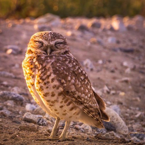I am honored to be able to document these amazing creatures. They are called Burrowing owls, they are a endangered species. Look them up and you will see how amazing these creatures are. Animal Themes Animal Wildlife Animals In The Wild Bird Bird Of Prey Burrowing Burrowing Owl Close-up Endangered Species Nature One Animal Outdoors Portrait The Great Outdoors - 2017 EyeEm Awards
