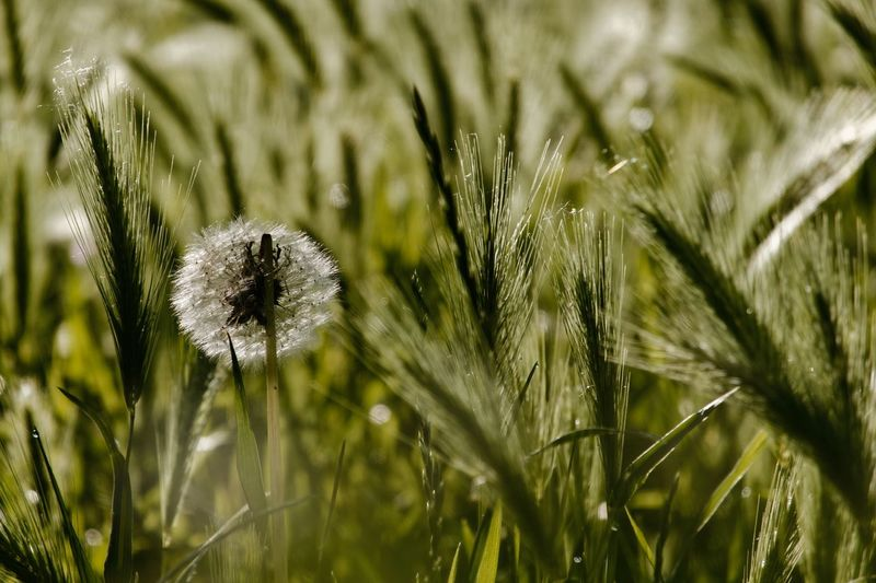 Dandelion Cereal Plant Plant Growth Beauty In Nature Nature Close-up Day No People Sunlight Selective Focus Freshness Outdoors Green Color Tranquility Fragility Land Field Focus On Foreground Grass Blade Of Grass Water