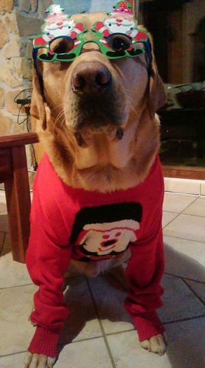 Happy Christmas from Barney the Labrador!! Merry Xmas! Merry Christmas Xmasjumper Labrador Labrador Retriever Glasses Christmas Is Coming Christmasdog Dog Santa Xmas Jumper Check This Out Dog Life LabradorLove FUNNY ANIMALS Funny Bah Humbug