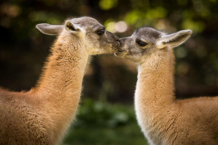 Llamas standing on field