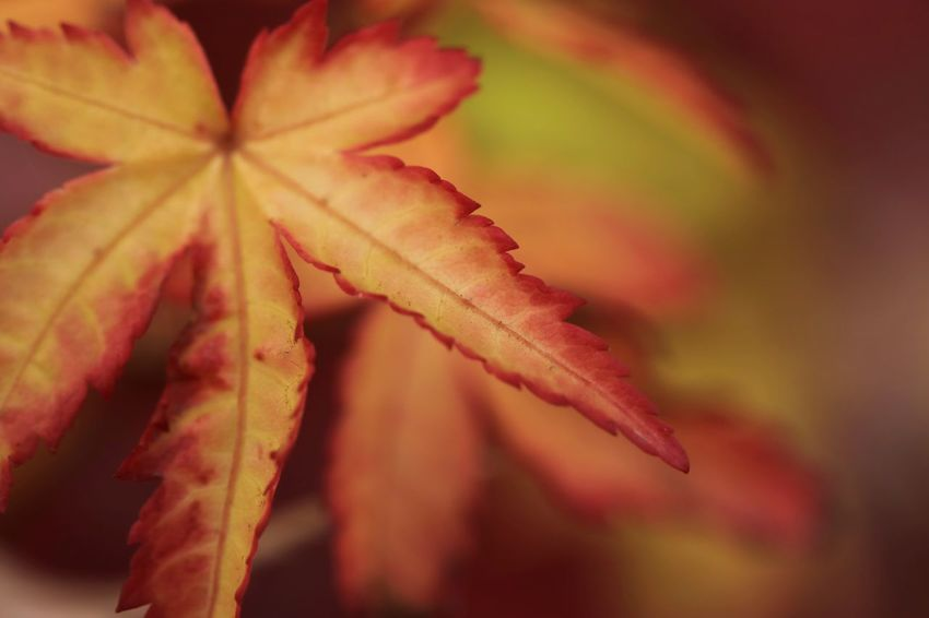 Close-up Copy Space Full Frame Full Length EyeEm Best Shots EyeEm Nature Lover EyeEm Gallery EyeEmBestPics EyeEm Best Shots - Nature Nature Nature_collection Nature Photography Naturelovers Eyeem4photography Leaf Autumn Red Change Close-up Blooming Leaf Vein Leaves Fallen Growing Maple Leaf Maple Plant Life
