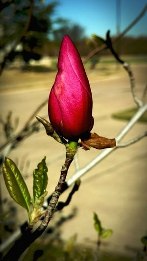 Tuliptreeblossom Close-up No People Day Outdoors Glorious Morning Caughtmyeye Onequietgal