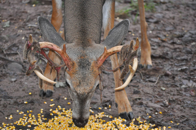 Whitetail Buck Deer with Velvet Shedding Antlers BLOODY Deer Animal Themes Animal Wildlife Animals In The Wild Antlers Buck Close-up Mammal Nature No People One Animal Outdoors Shedding Velvet Whitetail