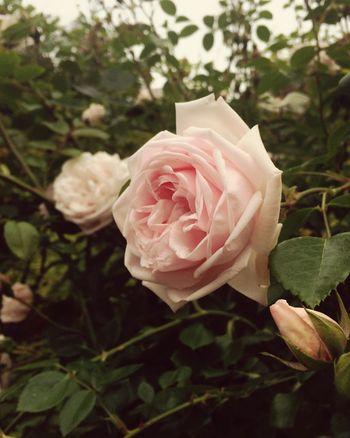hello eyeem; long time no see. Rose🌹 Grandmas Garden IPhoneography