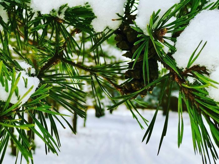 Snow On A Branch снег на ветке Snow Pine Tree Wintertime Winter Green Color Growth Nature Tree Leaf Branch No People