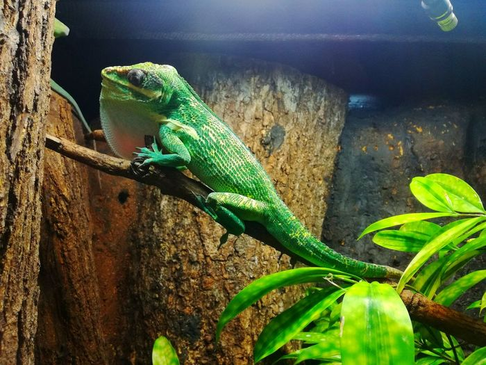 """Nature say's """"Go green"""". Reptile Animal Themes Animal Wildlife Green Color Outdoors Nature Iguana Close-up Bearded Dragon Animals In The Wild Creepycrawlies NaturePerks BalancedEcosystem P9lite Huaweiphotography Mobilephotography P9LitePhilippines EyeEmNewHere"""