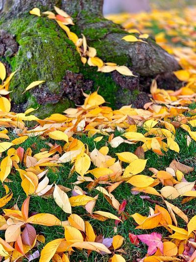 """""""Gold Nuggets"""" Nuggets of beautiful golden leaves scattered across a suburban lawn and moss covered tree roots, give the Klondike a run for its money sans any capital value but rich in aesthetics. Suburban Exploration Autumn Fall Colors Fall Autumn colors California Fall Beauty Autumn Collection Mossy Tree Mossy Moss No People Nature Day Leaf Growth Autumn"""