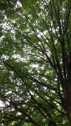 Tree Naturelovers Blätterdach Summertime Green Wachstum Nofilter Baum Www.trojan-prophezeiung.de Day No People Non-urban Scene Outdoors Green Color