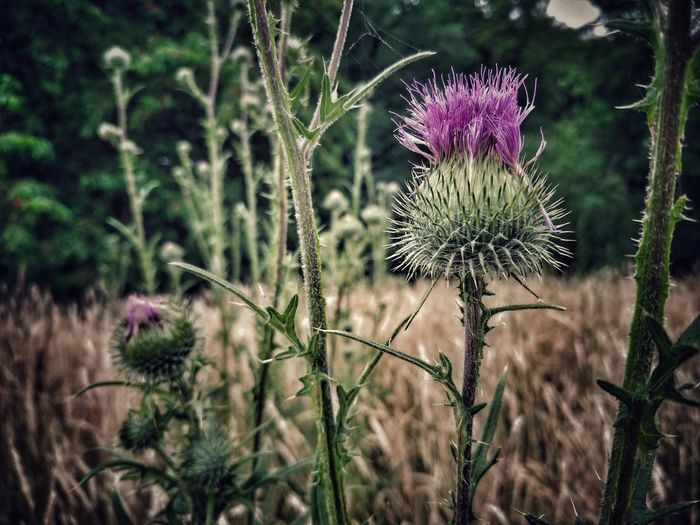 Nature Flower Beauty In Nature Thorns And Beauty Thorn Purple Paradox Painful Flower Head Thistle Flower Purple Uncultivated Close-up Plant Sky Wildflower In Bloom Blooming Plant Life