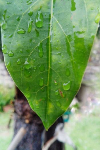 Leaf Green Color Close-up Nature Growth Day Outdoors Freshness No People Plant Beauty In The City🤗 Avocado Leaf Avocado Tree Beauty In Nature Drops Of Rain Drop Of Water Droplets On Leaves Drops