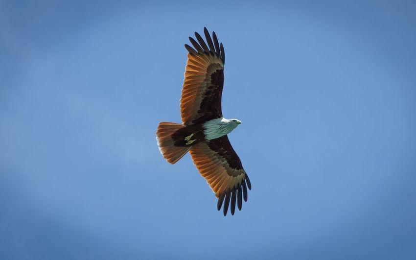 Langkawi, Eagle