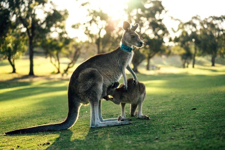 Kangaroo With Joey On Grassy Field
