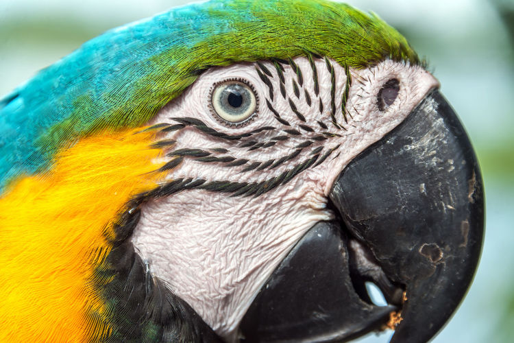 Closeup view of the face of a Blue and yellow Macaw in the Amazon rainforest of Brazil Adventure Amazon Amazonas Amazonia Beak Bird Brazil Face Flooded Forest Isolated Jungle Lake Macaw Nature Outdoors Park Parrot Parrots River South America Tabatinga Travel Tropical Wild