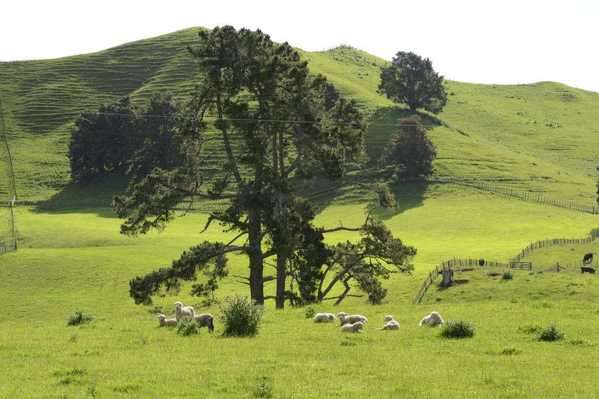 Natur pur Nature Photography Neuseeland Neuseeland Adventure Nord Insel Weideland New Zealand Sattes Grün Schafe Sheep Sheep🐑 Traumhaftschön Wiesen