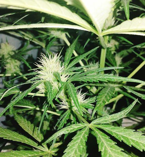 😍 Beautiful ♥ Beatiful Girl Weedtime Weed Plant HighTimes Cogollo Florcita Enjoying Life Lookthat