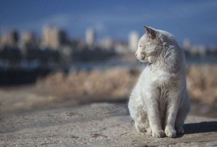 Alexandria Alexandria Egypt Alexandria, Egypt Beach Beach Life Beach Living Cityview Egyptian Cat Landscape Landscape_Collection Landscapes Mammal Sea Scape Sea Shore Sea Side Street Cat Street Cat Of Alexandria,egypt White Cat