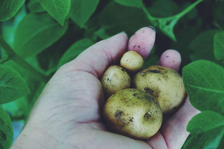 Cropped image of hand holding potato