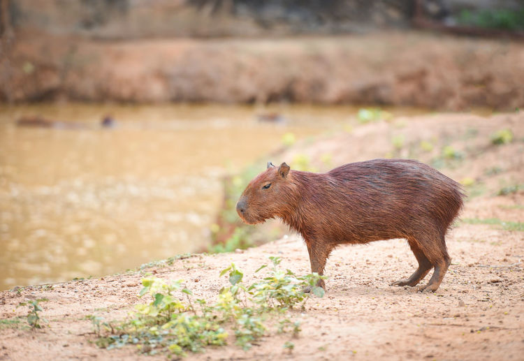 Capybara standing by river