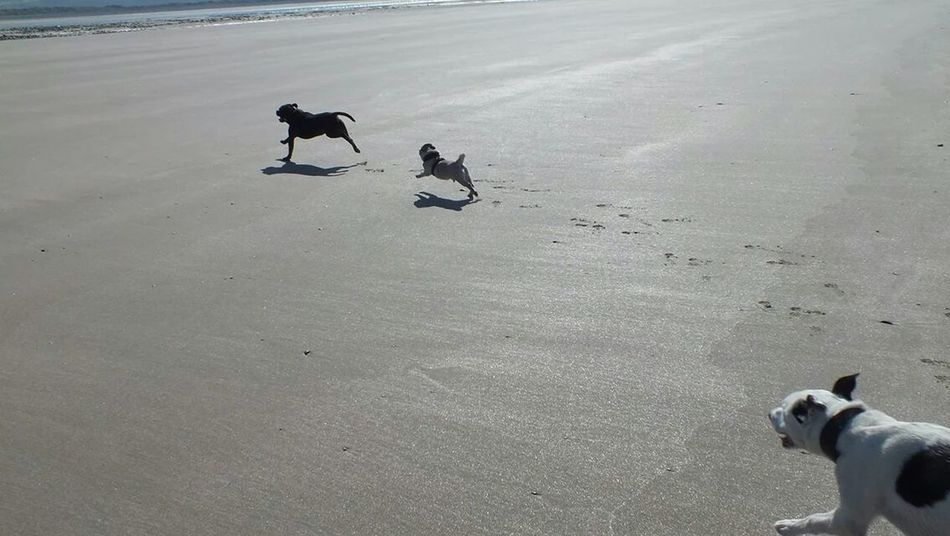 Paddy, boris and axel on the beach at barmouth. Staffy Staffies There Softer Than You Think Pugs Lurcher
