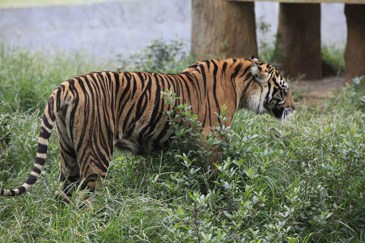 Side View Of Tiger