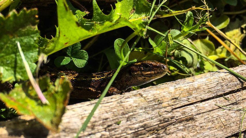 Lizard Nature Close-up Grass IPhoneography
