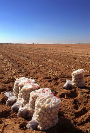 Potato sample plots harvested and ready for evaluation. Potato Potatoes Bags Of Potatoes Research Research Plots Data Betterlandscapes Samples Harvest Agriculture Farm Farm Land Potato Production Evaluation Test Result Clear Sky Arid Climate Landscape Farmscape Outdoors Desert No People Red Soil Potato Production