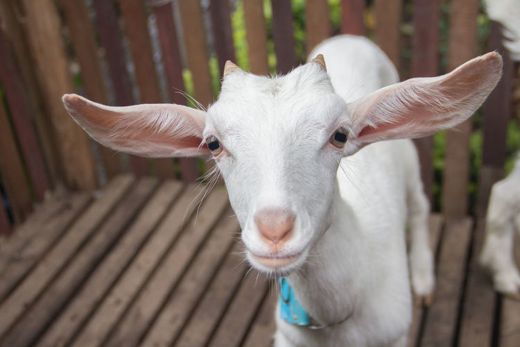 Close-Up Of Baby Goat