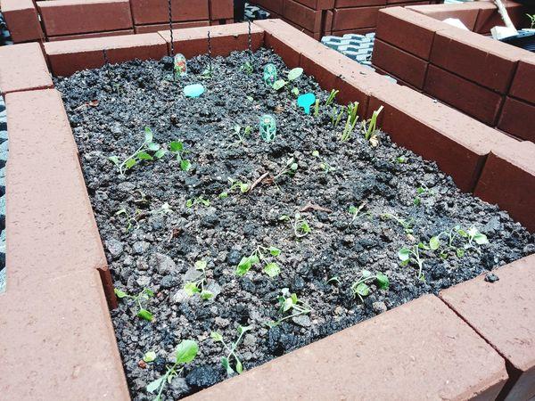 ปลูกผัก Plants 🌱 Nursery สวน ปลูก ผัก Garden Sunlight High Angle View Shadow Close-up