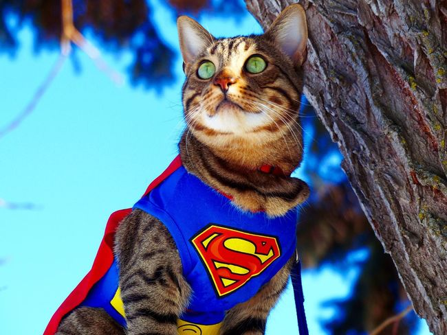 Super RogueWarrior from ✨Crazy Funny Cats✨ ( youtube) instagram ✨crazyfunnycats66✨ Hawrelak Park Winter Youtube Tree Crazyfunnycats66 CrazyFunnyCats Superheroes Cool Tabby Cat Bengal Cat Feline Super SuperRogue Rogue Domestic Cat Domestic Animals Low Angle View Animal Themes Pets Feline One Animal Mammal Blue Day Outdoors Sitting Portrait Sky No People