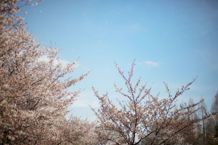 Low angle view of flower trees against blue sky