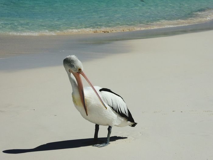 Pelican Perching On Sand At Beach