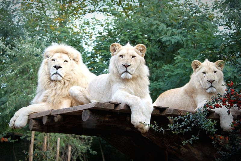White Lions watching me Albino White Lions Majestic Creature Majestic Epic White Lion White Lion King  Lion Mammal Animal Themes Group Of Animals Animal Animal Wildlife Tree Lion - Feline Feline No People Cat Two Animals Animals In The Wild Lioness Young Animal Nature Day Animal Family