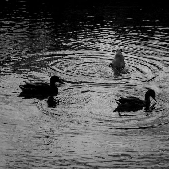 Ducks Lake Black And White Nature Eyeem Black And White Blackandwhite Taking Photos Nature Ducks In The Lake Animals In The Wild Animals Ducks At The Lake Water Reflections Black And White Photography Eyeem Water Blackandwhite Photography Landscape Blackandwhitephotography Black And White Collection  Eye4photography  Duck From My Point Of View Black And White EyeEm Gallery Eyeem Nature Water_collection