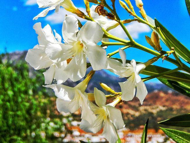 Andalucía White Flower Karen Grace Blossoms  Spain♥