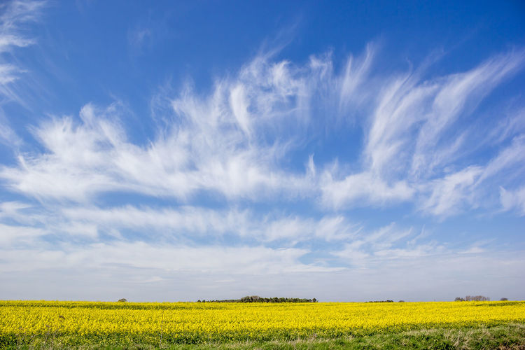 Blue sky over landscape with yellow rapeseed crop Agriculture Beauty In Nature Blue Close-up Cloud - Sky Day Field Flower Flower Head Fragility Freshness Growth Nature No People Oilseed Rape Outdoors Plant Rural Scene Scenics Sky Yellow