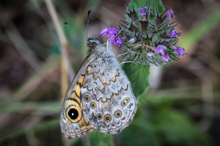 Butterfly Butterfly One Animal Flower Animal Themes Animals In The Wild Animal Wildlife Animal Plant Flowering Plant Close-up Insect Invertebrate Beauty In Nature Butterfly - Insect Focus On Foreground Nature Animal Wing Fragility Vulnerability  Day No People Flower Head Pollination Purple