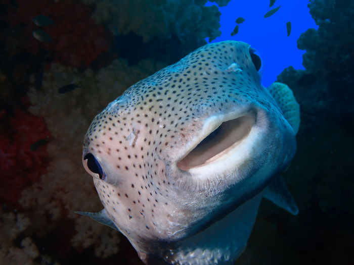 Porcupine Fish Animal Themes Animal Wildlife Animals In The Wild Beauty In Nature Diving Fish Nature Porcupine SCUBA Sea Sea Life UnderSea UnderSea Underwater Water