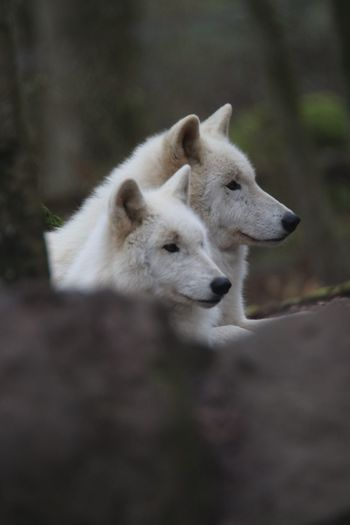 Togetherness Nature Nature_collection Nature Photography Wolvs White Wolves EyeEm Selects Animal Mammal Animal Themes Animal Wildlife Animals In The Wild One Animal Wolf Animal Body Part Outdoors Animal Head  Relaxation