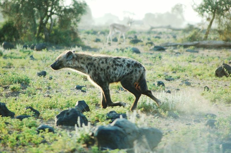 Hyena at amboseli National Park. Hyena Hyena Hunnting Hyenas Wildlife Hyena Clan