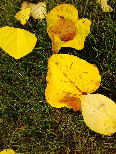 Yellow Leaf Nature Under The Canopy Beauty In My Garden Beauty In Nature The Week On EyeEm Nature_collection Galaxy On5 100 Shades Of Yellow Paint The Town Yellow Colors Of Autumn Fall Colors Fall Leaves Autumn